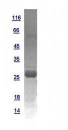 GTX110527-pro - Interleukin-6 / IL6