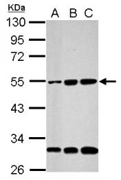 GTX110579 - Cyclin A2
