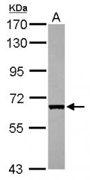 GTX110586 - CDC45L
