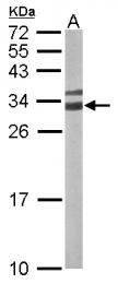 GTX110629 - 14-3-3 protein gamma