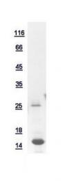 GTX110638-pro - Peptide YY / PYY