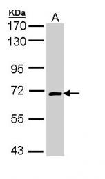 GTX110688 - CRMP1 / DPYSL1