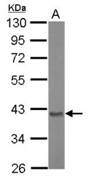 GTX110699 - Aminoacylase-2 / ACY2