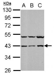 GTX110720 - MAP kinase p38 alpha / MAPK14