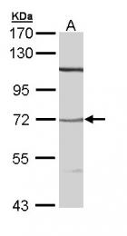 GTX110857 - Neurotensin receptor 3