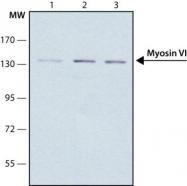 GTX11095 - Myosin-Va
