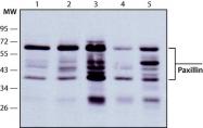 GTX11101 - Paxillin /  PXN
