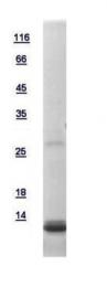 GTX111023-pro - G protein gamma 12