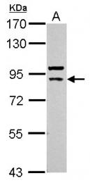 GTX111041 - Cullin-5