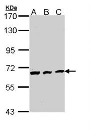 GTX111065 - CDC23 / APC8