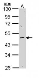 GTX111118 - Cyclin B2