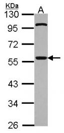 GTX111137 - CDC20