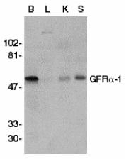 GTX11115 - GFRA1 / GDNFR-alpha