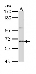 GTX111209 - PTPN5 / STEP