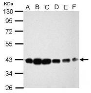 GTX111212 - Anamorsin
