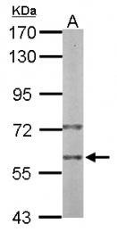 GTX111233 - PRPF19 / NMP200