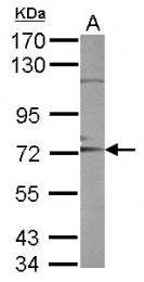 GTX111347 - CD156c / ADAM10