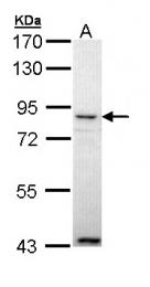 GTX111353 - Angiopoietin-4
