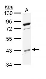 GTX111388 - MAP kinase p38 beta / MAPK11