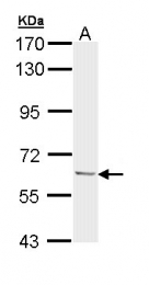 GTX111485 - Ubiquilin-1 (UBQLN1)