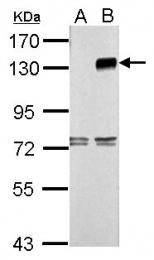 GTX111490 - CD289 / TLR9