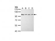 GTX111496 - EEF-2 kinase