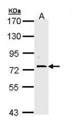 GTX111553 - FAF1