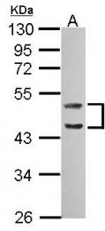 GTX111630 - Caspase-1