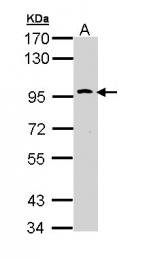 GTX111735 - CD290 / TLR10