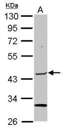 GTX111748 - ELP4