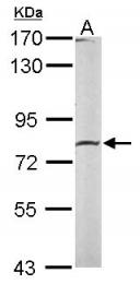 GTX111809 - Calpain-2