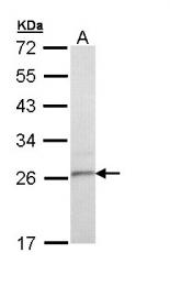 GTX111881 - Tetraspanin-6 (TSPAN6)