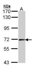 GTX111944 - Cyclin T2