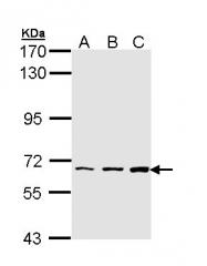 GTX111953 - PIP5K1A