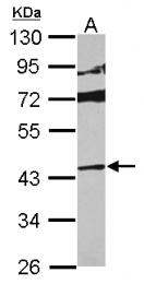 GTX112033 - MAP kinase p38 delta / MAPK13