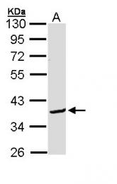 GTX112088 - Bcl-2-like 12