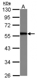 GTX112129 - SERBP1 / PAIRBP1