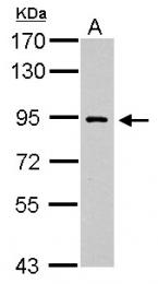 GTX112137 - DNA polymerase iota