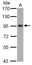 GTX112162 - SH2D3C / NSP3