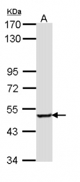 GTX112277 - Sestrin-3 (SESN3)