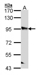 GTX112301 - Liprin-beta-2