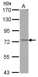 GTX112393 - AMFR / RNF45