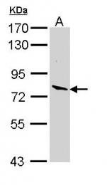 GTX112534 - Lactoperoxidase