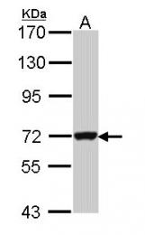 GTX112554 - GTP-binding protein 3 / GBP3