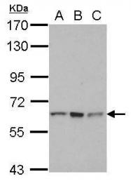 GTX112568 - RNF12 / RLIM