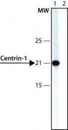 GTX11257 - Centrin-1