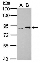GTX112583 - DNA polymerase iota