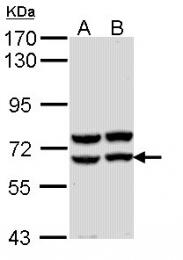 GTX112606 - Alpha-amylase 2A