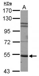 GTX112645 - CD172a / SIRPA