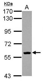 GTX112651 - EBF1 / COE1